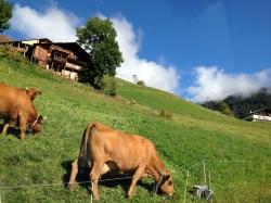 Beaufort cows